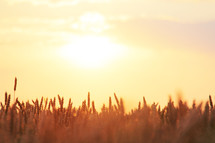 wheat field at sunset