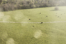 Grazing cattle. Tilt shift focus.