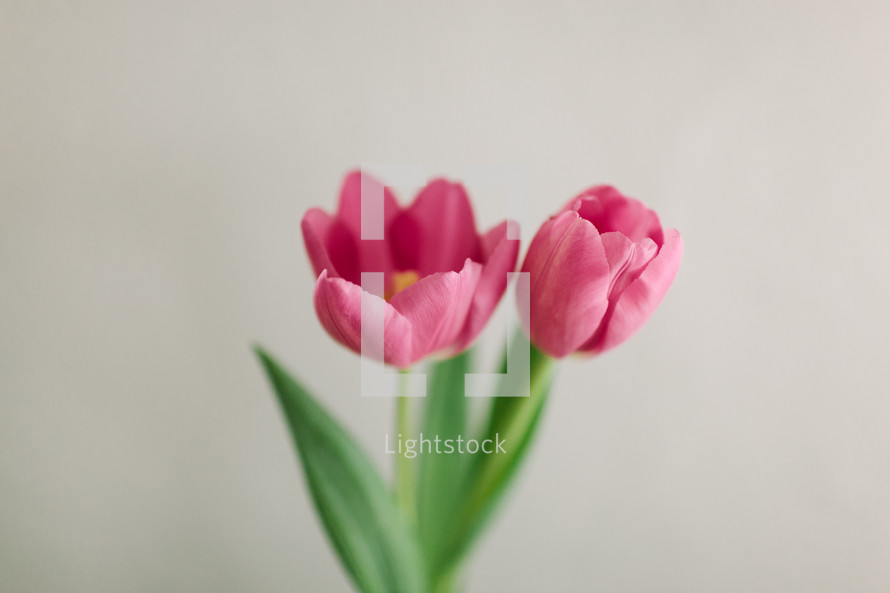Two pink tulips.
