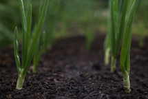 green onion sprouts in soil