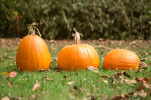 orange pumpkins in grass