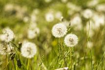 Field of dandelion seed heads.