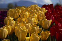 yellow, purple, and red tulips