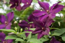 deep purple flowers