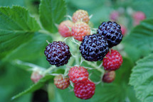 blackberries ripening on the bush.