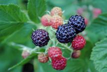 blackberries ripening on the bush.
