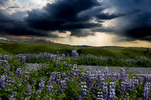 gray clouds over a field of purple flowers