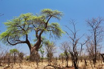 Large Baobab Tree in Arid African Savanna