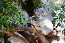 Koala bear in a tree.