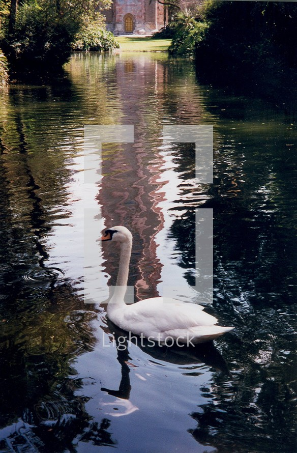 A graceful Swan swimming in a reflecting pond glides through the waters effortlessly in peaceful surroundings.