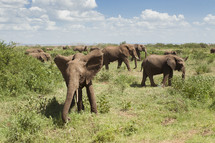 Elephant herd in a field.