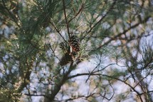 Pine cones in a tree.