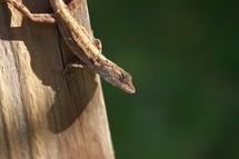 brown anole lizard on a log