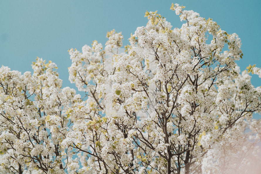 spring blossoms on tree branches