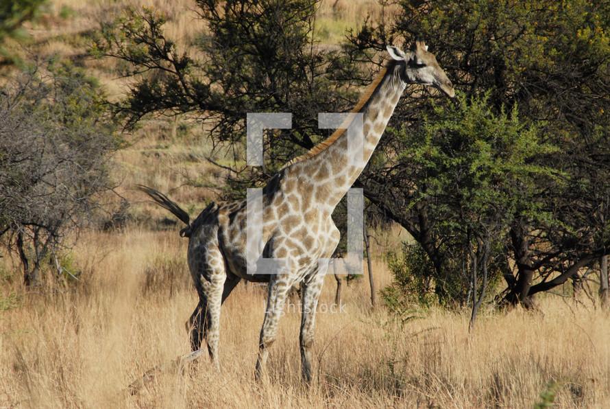 Giraffe in savanna grass
