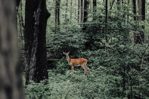 deer in a forest