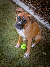 boxer puppy with a ball