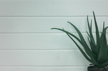 aloe plant and white wall