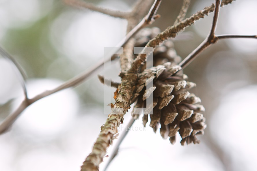 pine cone growing on a branch