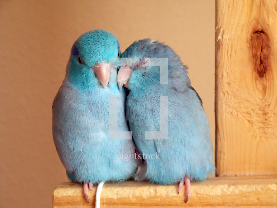 Two Pacific Blue Parrotlet Birds snuggling and sleeping in the warm glow of the afternoon sun. There is comfort in having a companion and someone to keep you safe and watch over you and that is just what Birds do. They keep each other company, eat together, play together and fellowshipping with their human counterparts as a family that belongs together and stays together.  Birds I have found get lonely and frightened and alone just like people do so the comfort of a loved one is always a blessing and the way that God designed nature so that none of us are ever alone or lonely but have the love, companionship and presence of loved ones who care.