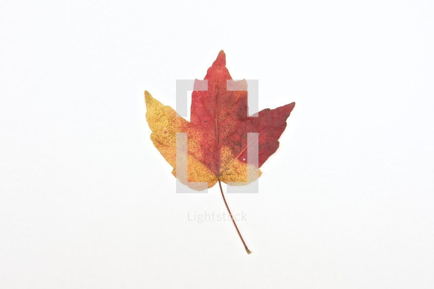 mixed colors on a maple leaf