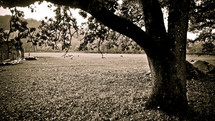 live oak tree in front of a pasture and barn