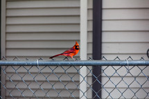 red cardinal on a chain link fence