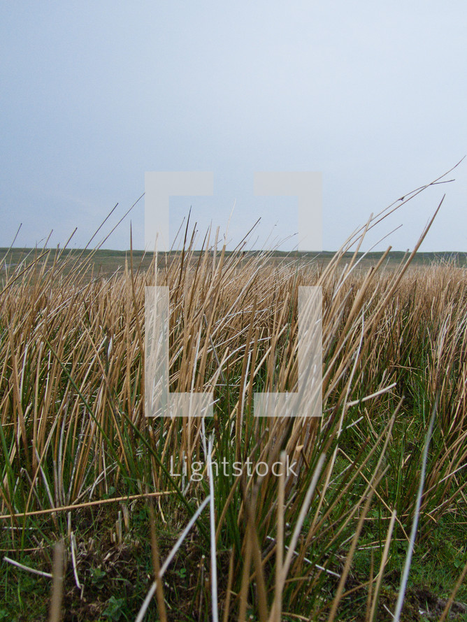 tall brown grass in a field