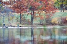 ducks on a fall lake