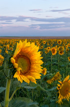 a single sunflower stands out in the field of flowers