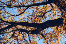 branches and fall leaves with a blue sky backdrop