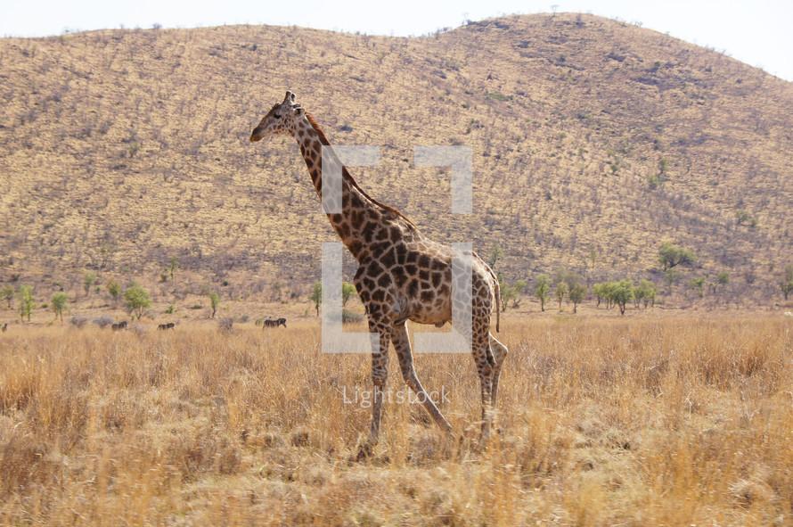 Single Giraffe in African Savannah