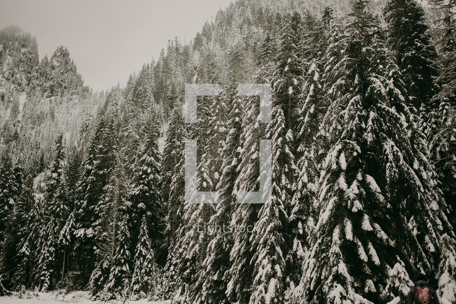 snow on evergreen trees in a forest