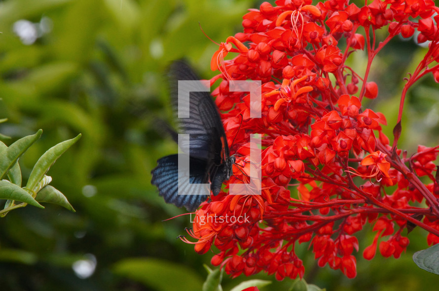 A butterfly lands on bright red flowers