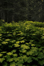 young saplings fighting for space on the forest floor