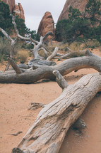 fallen tree on desert soil