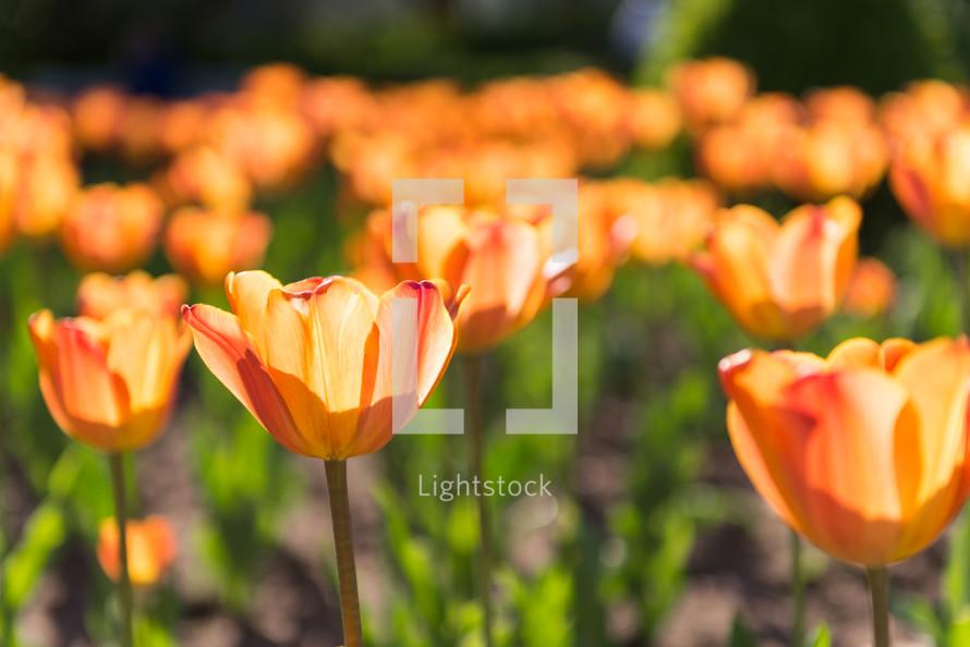Field of blooming flowers,