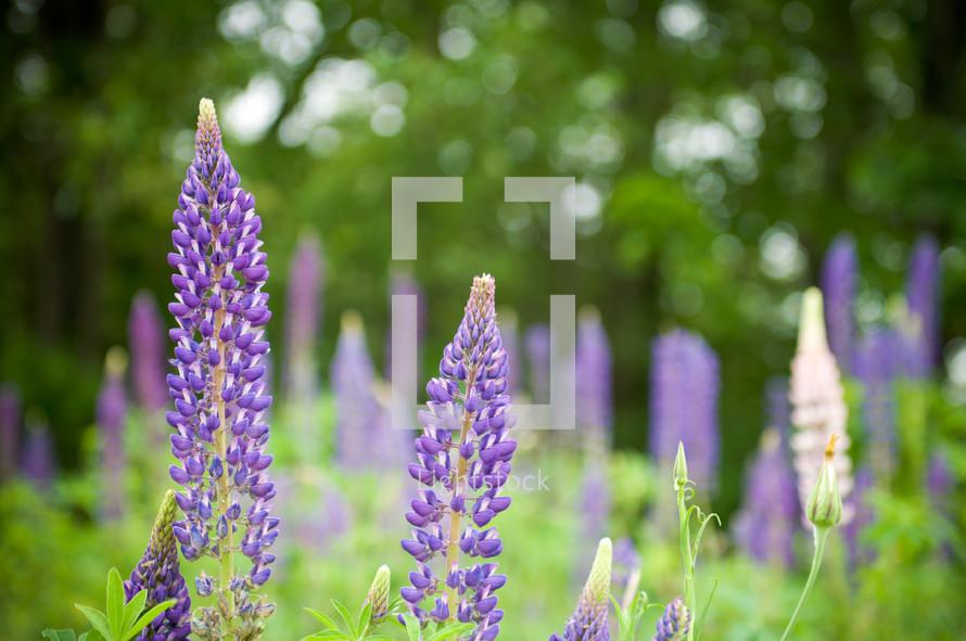 Field of purple wild flowers.