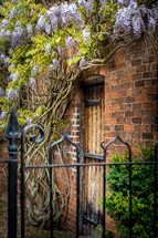 wisteria on a brick wall and wrought iron gate