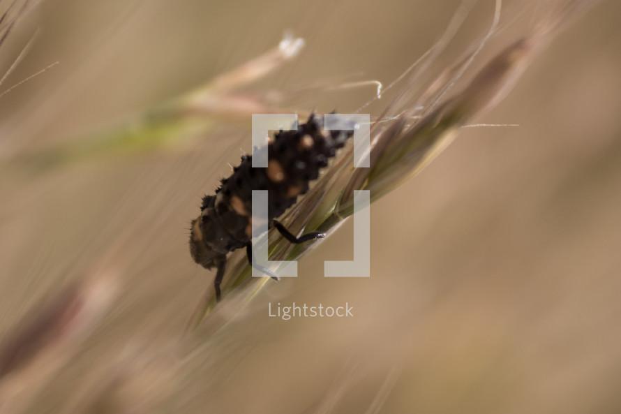 ladybug larva on shaft of wheat