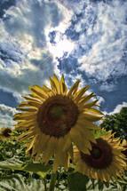 sunburst over sunflowers