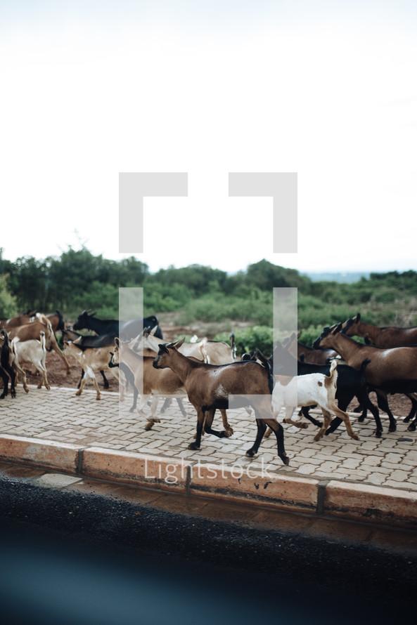 goats on a sidewalk