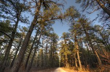 dirt road and pine trees