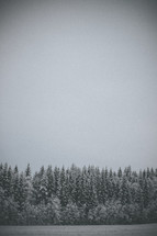snow covered evergreen forest