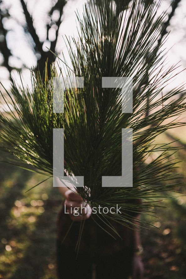 woman, holding, pine needles, tree, branch, outdoors