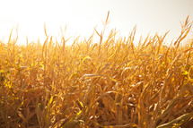 golden field of corn