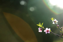 pink flowers on branches in bright sunlight