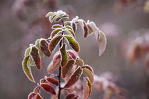 frost on fall leaves