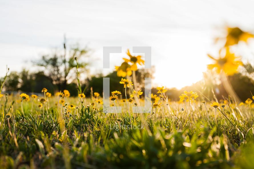 yellow flower under sunlight low perspective of field grass sunset