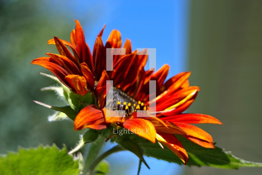 Close up of red sunflower.